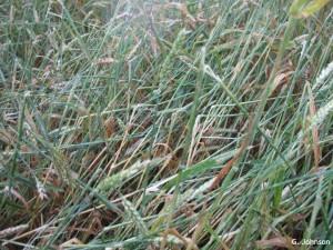 hailwheat1