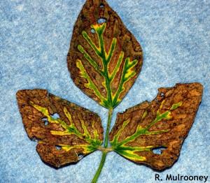 foliar SDS symptoms