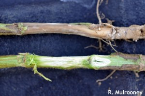 stem of healthy soybean (lower) and soybean with SDS (upper)
