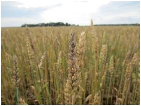 wheatsootymold