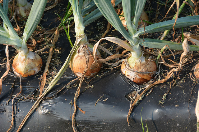 Onions grow well in rows of soil covered in plastic