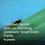 Common Aphid Species in Delaware Small Grains