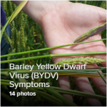 Barley Yellow Dwarf Virus (BYDV) Photo Library