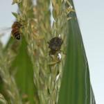 BMSB on Corn