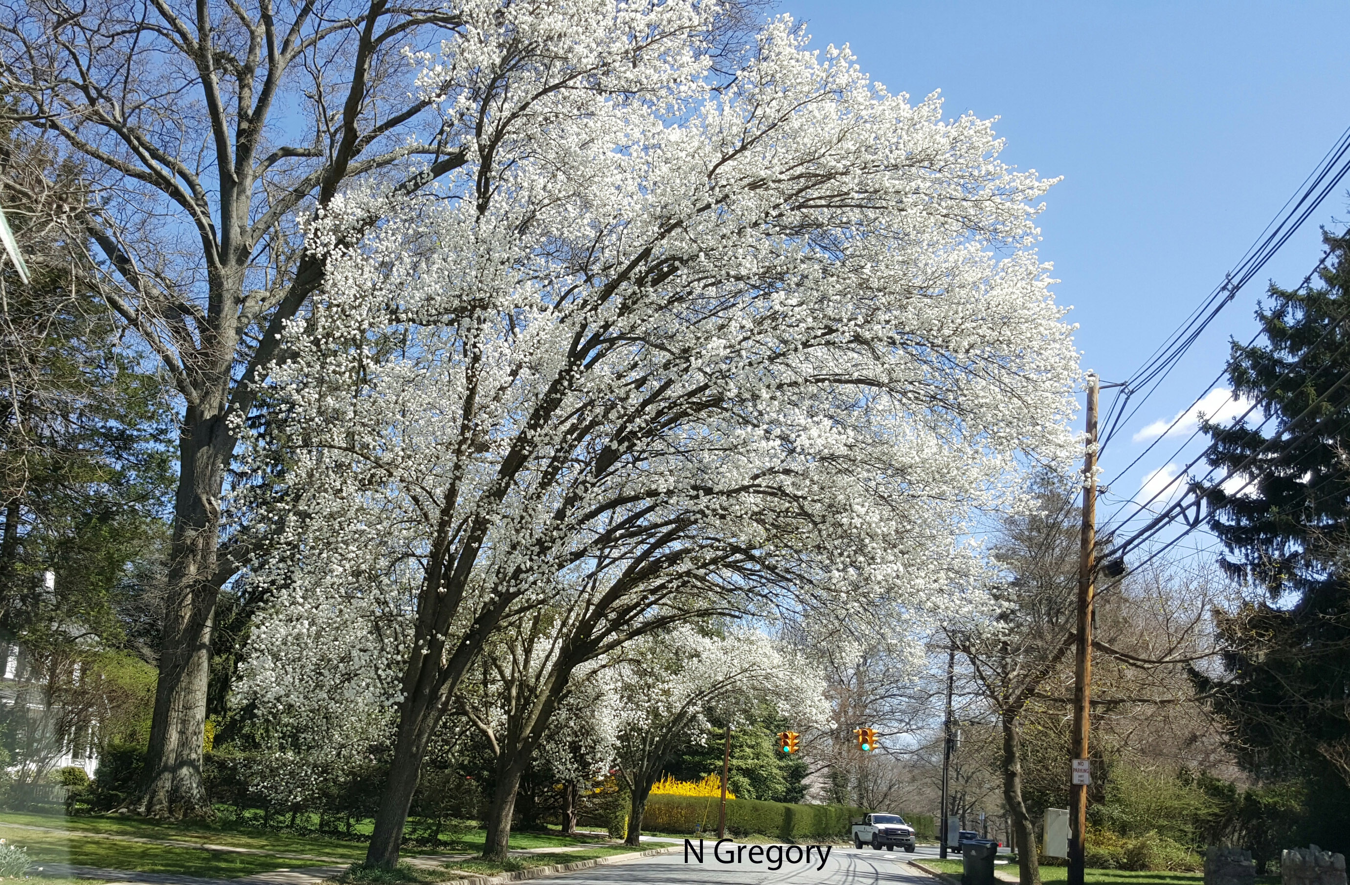 Hot Topics Cooperative Extension Page 2: bradford pear