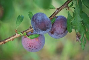 plums growing on branches