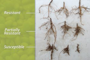 Root Knot Nematode affects sampling of plants.