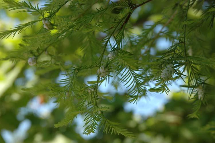 Bald cypress twig gall midge